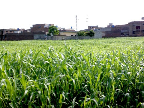 Crops in the middle of houses