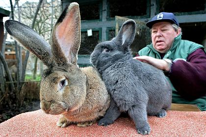 Two giant wabbits