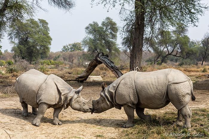 Indian rhinoceros couple