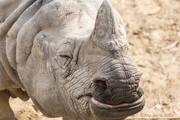 Smiling female greater one-horned rhino