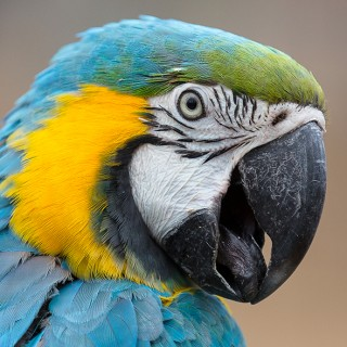 Blue macaw at Lakeview Bird Park