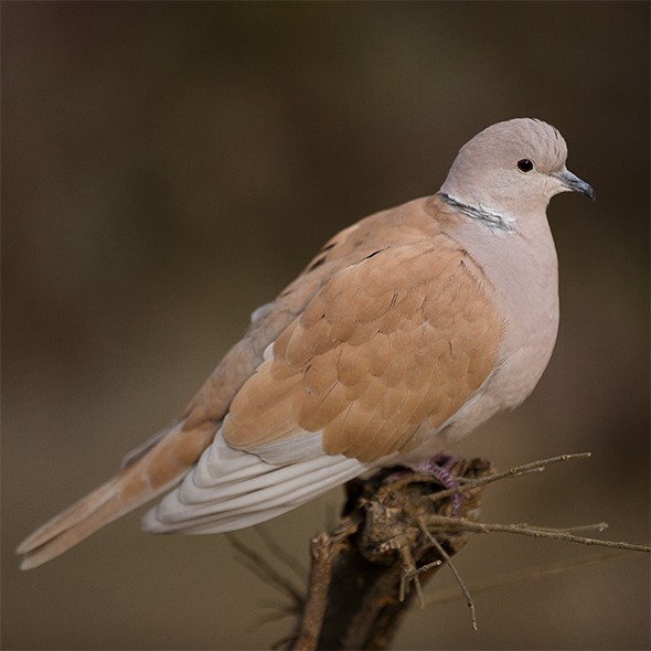 Eurasian collared dove at Lakeview Bird Park