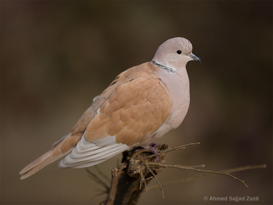 Eurasian collared dove, Lakeview Bird Park, Islamabad